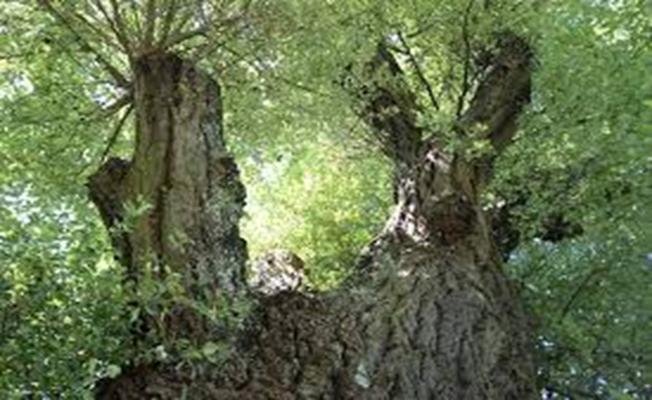 Akçakavak (Beyaz Kavak Ağacı)nın Faydaları