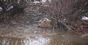 Boz ayı kaçak avcıların hedefi oldu