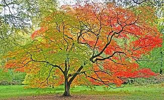 Akçe (Acer) Ağacının Faydaları