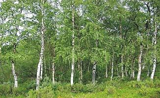 Akhuş Ağacı (Kayın Ağacı)nın Faydaları
