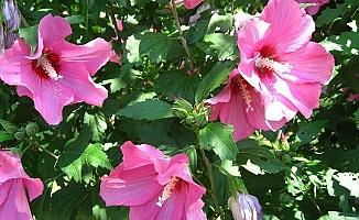 Amber Çiçeği Faydaları