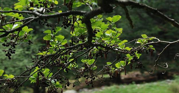 Bakamın Kızıl Ağacın Faydaları
