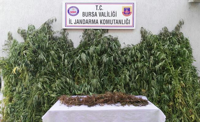 Bursa'da Kubar Esrar ve Hint Keneviri Ele Geçirildi