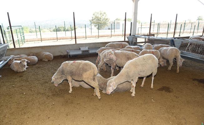 Büyükşehir'den Üreticiye Merinos Koyunu Desteği