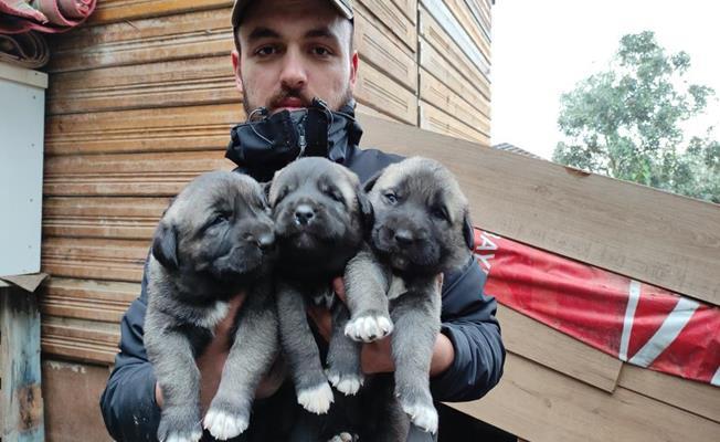 Sivas Kangalı Yavrularını Bursa'da Yetiştirip 7 Bin Liradan Satıyor