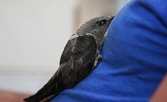Ebabil Kuşu Bursa'da Görüldü
