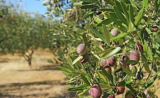 Bursa İznik'te Zeytin Ağacından Düşen Adam Öldü