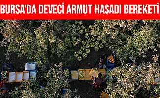 Bursa'da Armut Bahçelerinde Hasat Bereketi Yaşanıyor