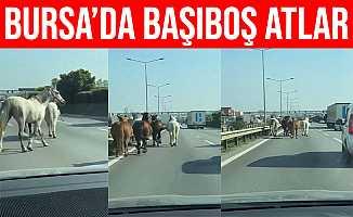 Bursa'daki Başıboş Atlar Sürücüleri Zorluyor