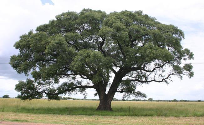 Marula Ağacı